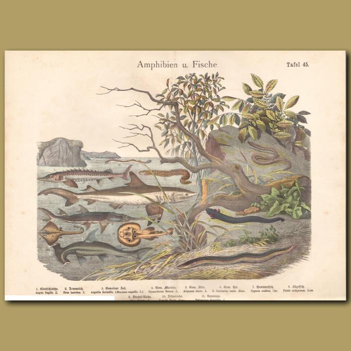 Antique print: Swordfish, Shark, Stingray, Hammerhead Shark,Sturgeon