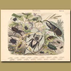 Goliath Beetle, Hercules Beetle, Dung Beetle, Jewel Beetle