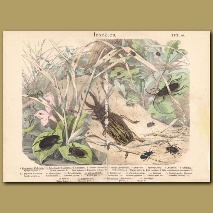 Antique print: Sabre-tooth Longhorn Beetle, Capricorn Beetle, Jewel Beetle, Water Beetle