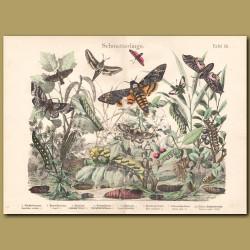 Harlequin Beetle, Flower Beetle, Carabus Beetle
