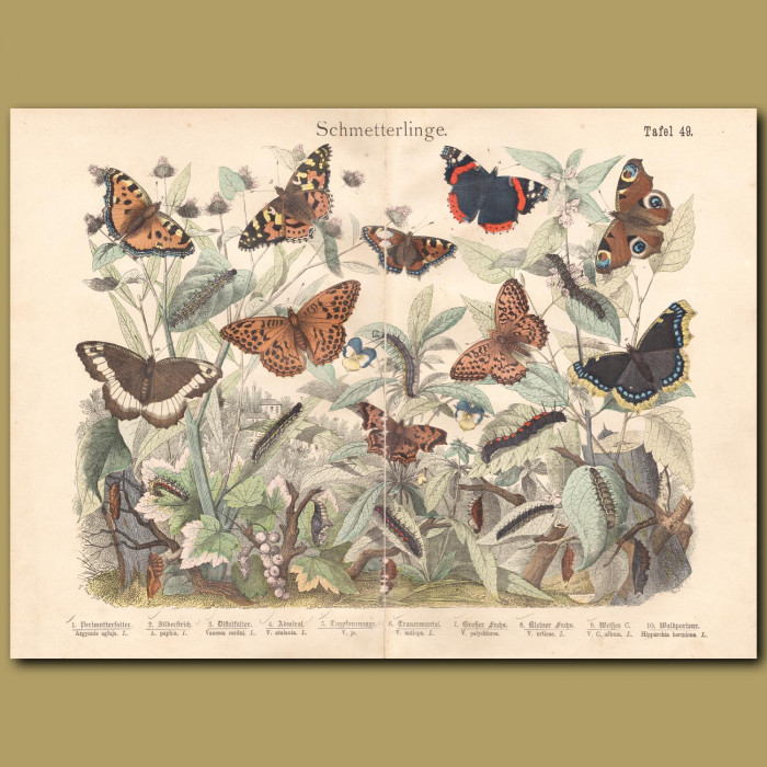 Antique print: Red Admiral, Silver Frittilary, Cardinal