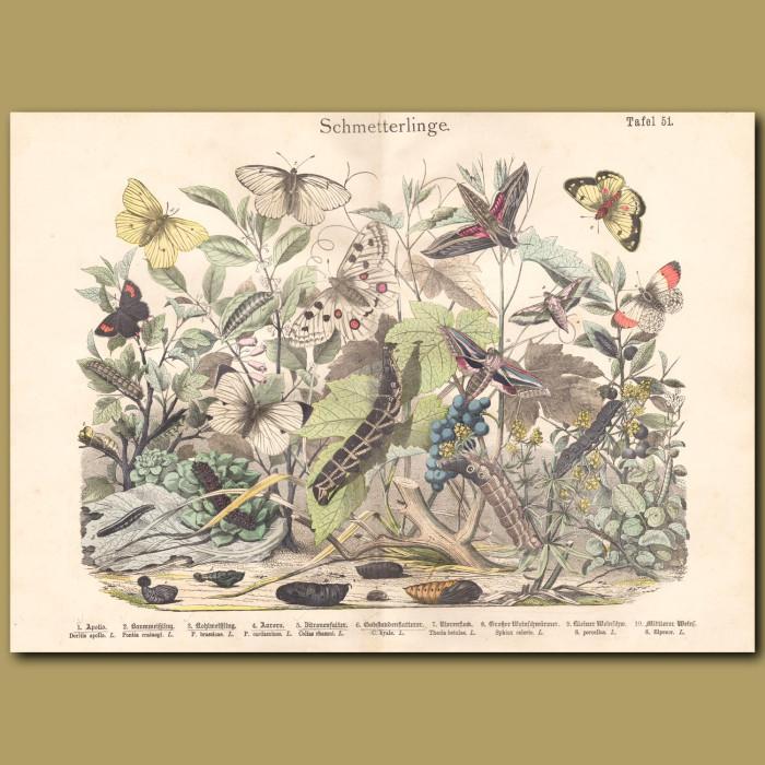 Antique print: Apollo, Black Veined White Butterfly, Cabbage White, Orange-tip, Sphinx Moth