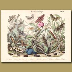 Satin Moth, Puss Moth, Leopard Moth