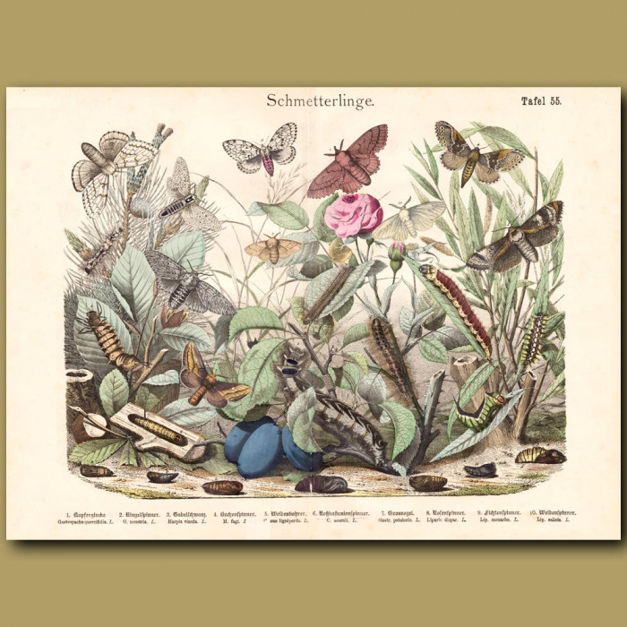 Antique print: Satin Moth, Puss Moth, Leopard Moth