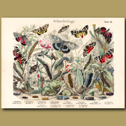 Tiger Moth, Silver Moth, Pine Beauty Moth
