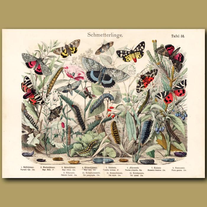 Antique print: Tiger Moth, Silver Moth, Pine Beauty Moth