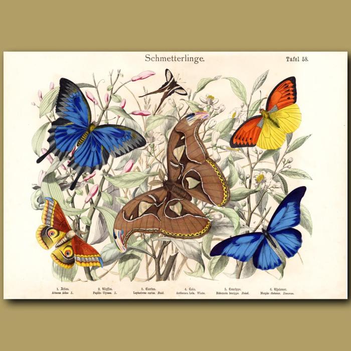 Antique print: Ulysses Butterfly, Atlas Moth, Blue Morpho Butterfly