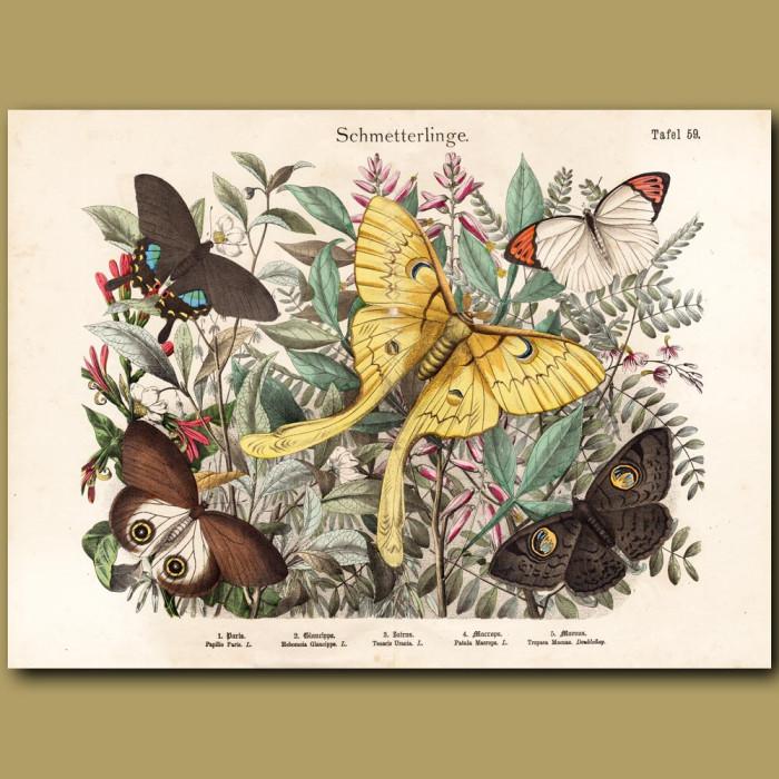 Antique print: Peacock Butterfly, Owl Moth, Luna Moth