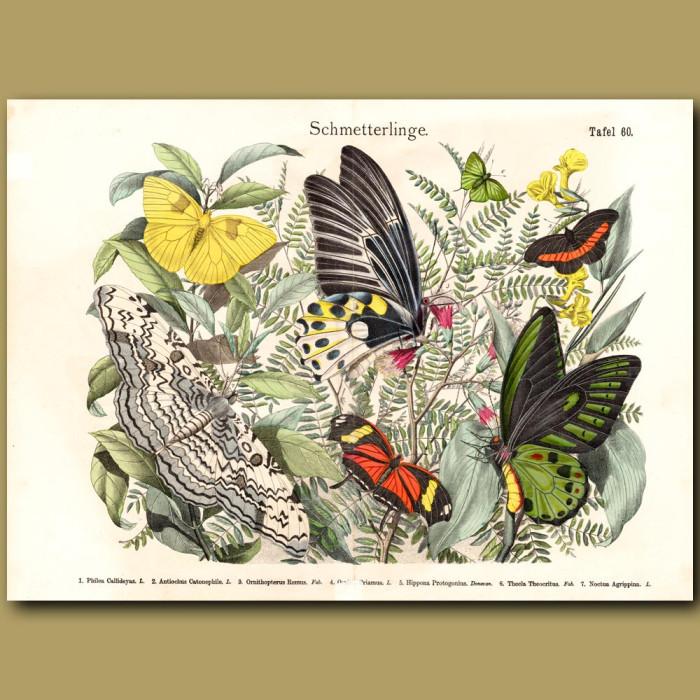 Antique print: Birdwing Butterflies