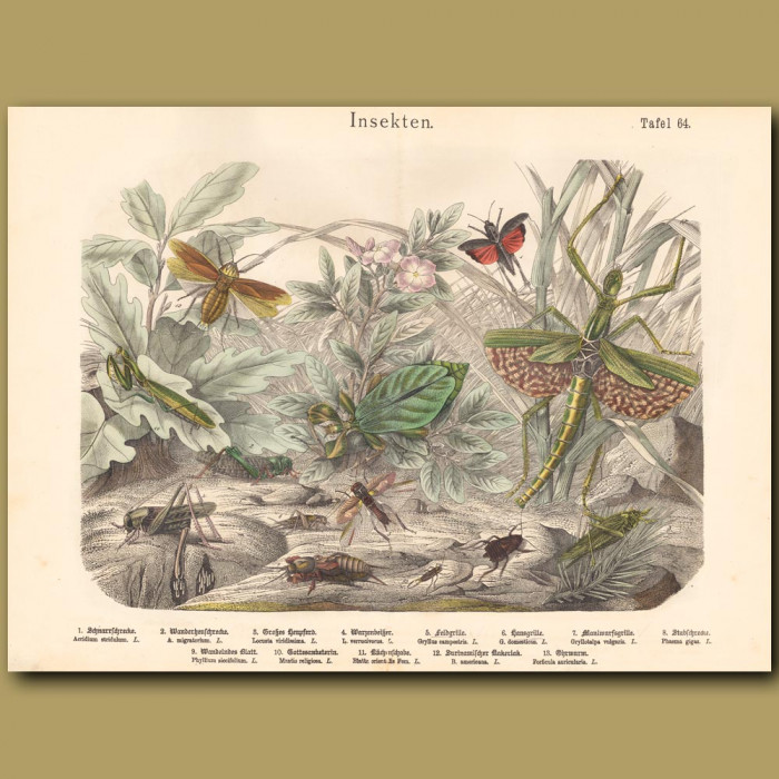 Antique print: Stick Insect, Praying Mantis, Cricket, Locust