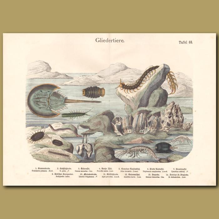 Antique print: Horseshoe Crab, Centipede, Shrimp, Limpets
