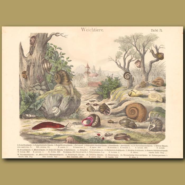 Antique print: Snails