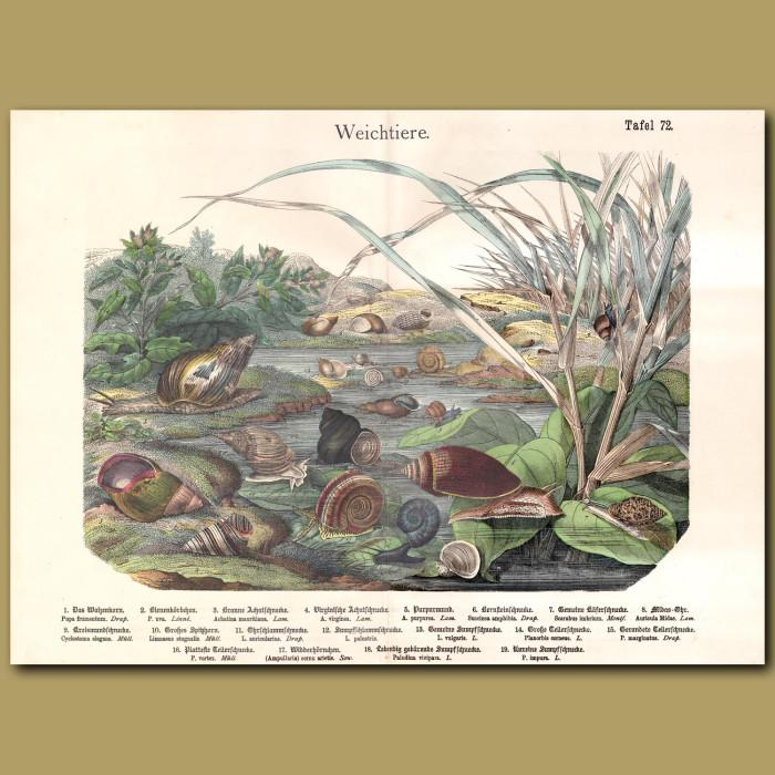 Antique print: Land Snails
