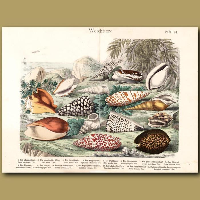 Antique print: Cone Shells, Conch Shells, Wentletrap Shell