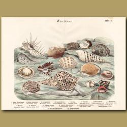 Murex Shells, Spindles Shells, Abalone Shell