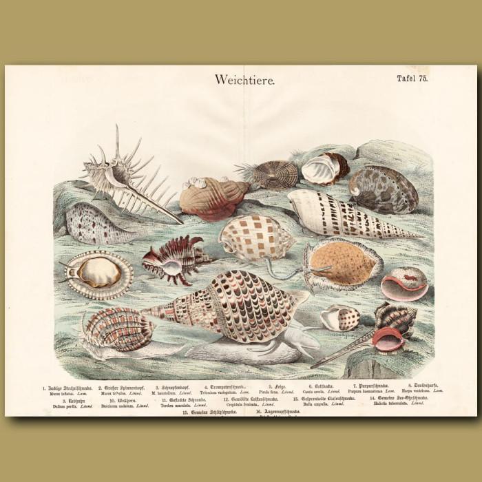 Antique print: Murex Shells, Spindles Shells, Abalone Shell