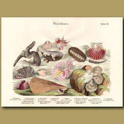 King Scallop Shell, Oyster Shells, Clam Shells
