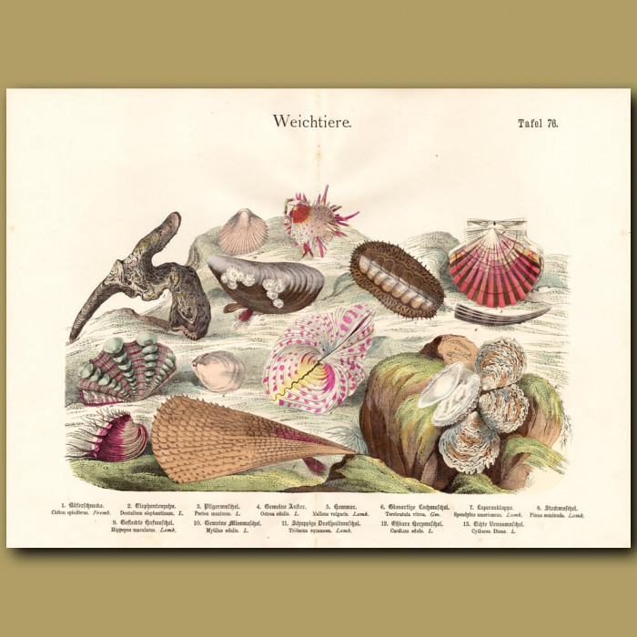 Antique print: King Scallop Shell, Oyster Shells, Clam Shells