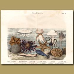 Brittle Star, Moon Jellyfish, Starfish