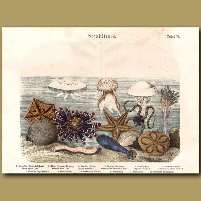 Antique print: Brittle Star, Moon Jellyfish, Starfish