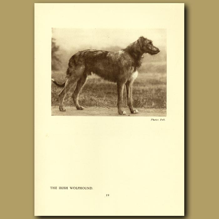 Antique print. The Irish Wolfhound