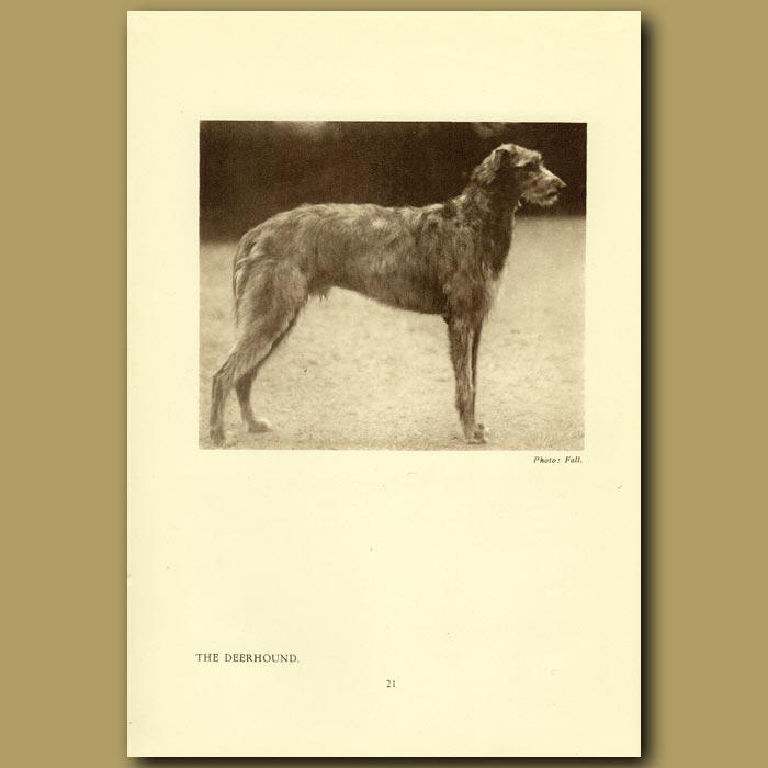 Antique print. The Deerhound