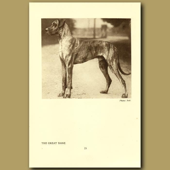 Antique print. The Great Dane