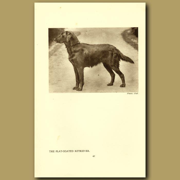 Antique print. The Flat-coated Retriever