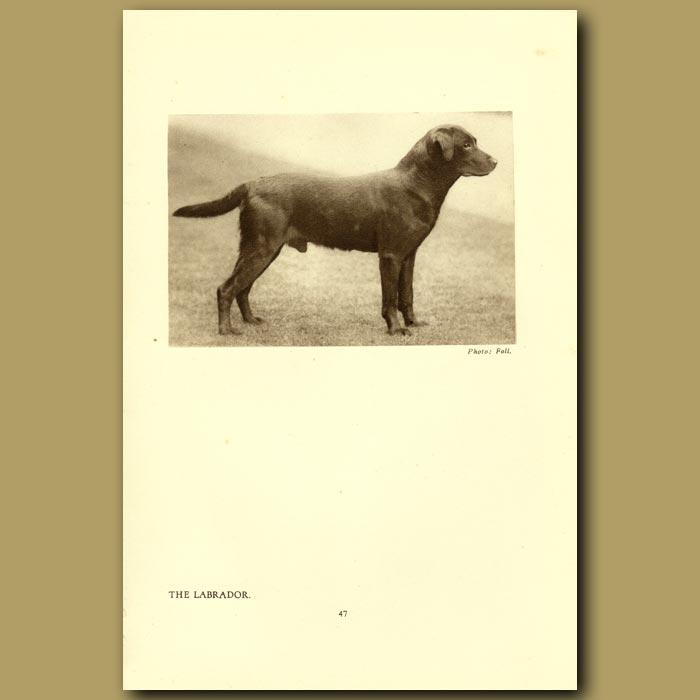 Antique print. The Labrador
