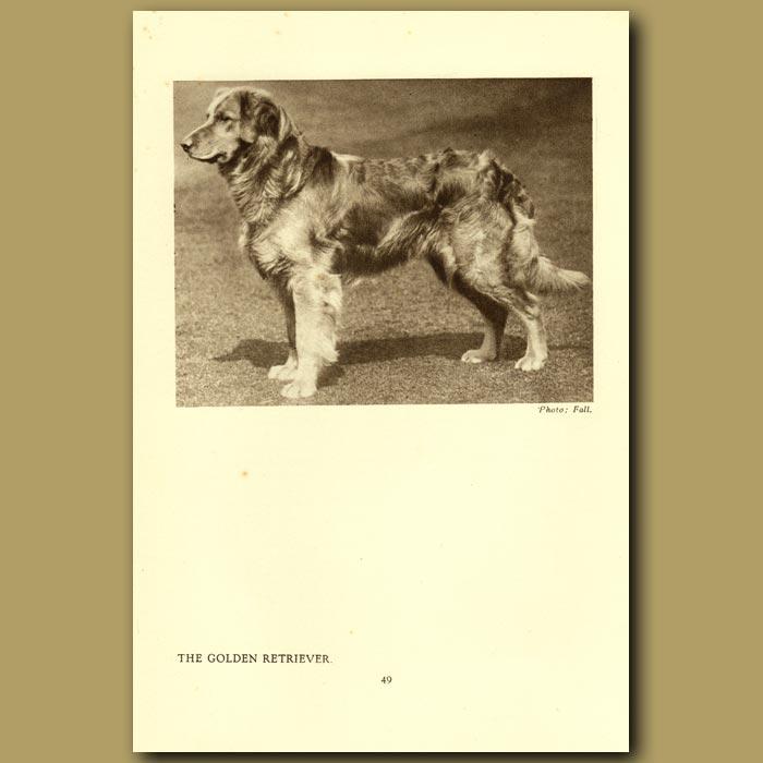 Antique print. The Golden Retriever