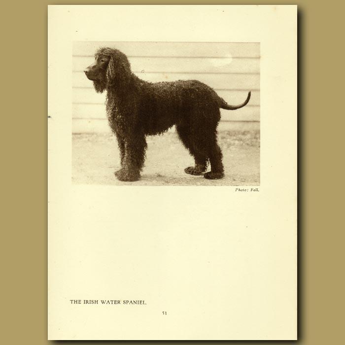 Antique print. The Irish Water Spaniel
