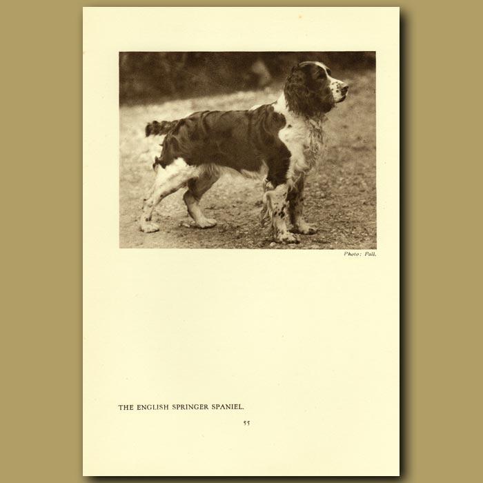 Antique print. The English Springer Spaniel