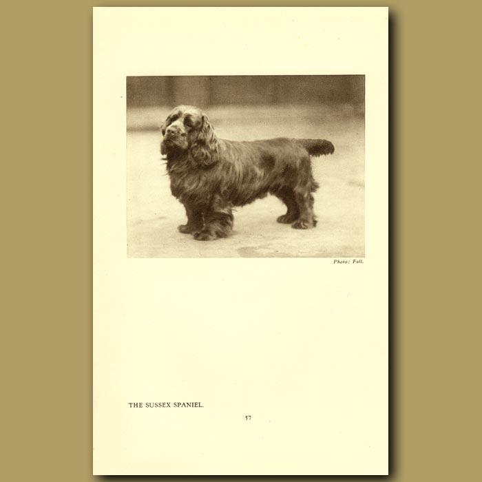 Antique print. The Sussex Spaniel