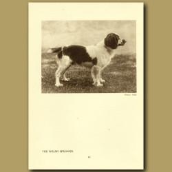 The Welsh Springer