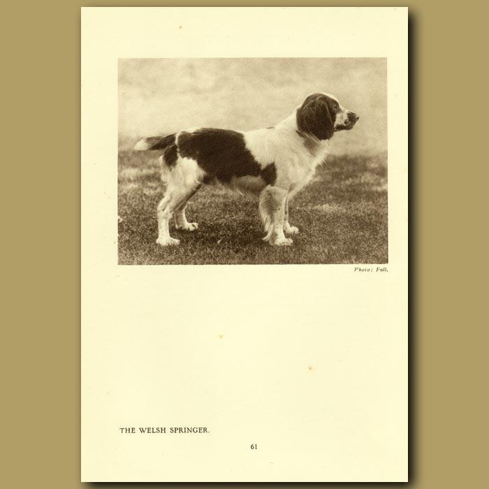 Antique print. The Welsh Springer