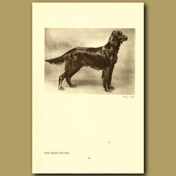 Antique print. The Irish Setter