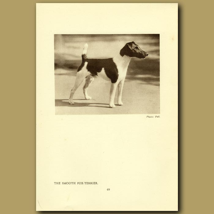 Antique print. The Smooth Fox Terrier