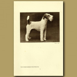 The Wire-haired Fox Terrier