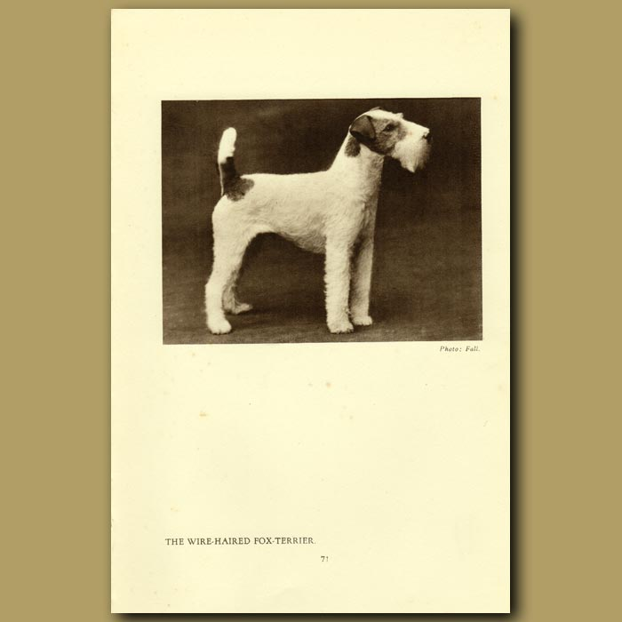 Antique print. The Wire-haired Fox Terrier