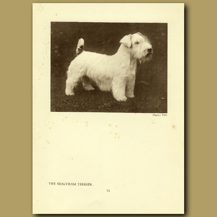 Antique print. The Sealyham Terrier