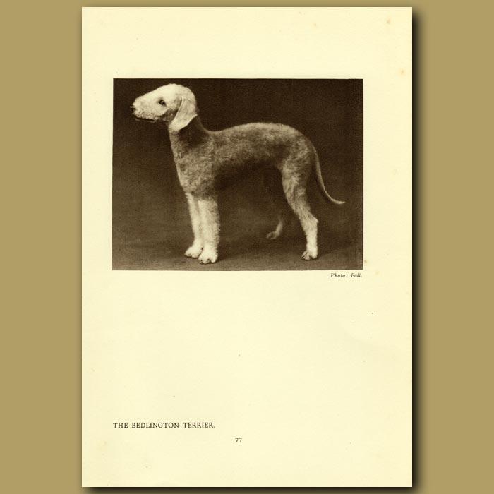 Antique print. The Bedlington Terrier