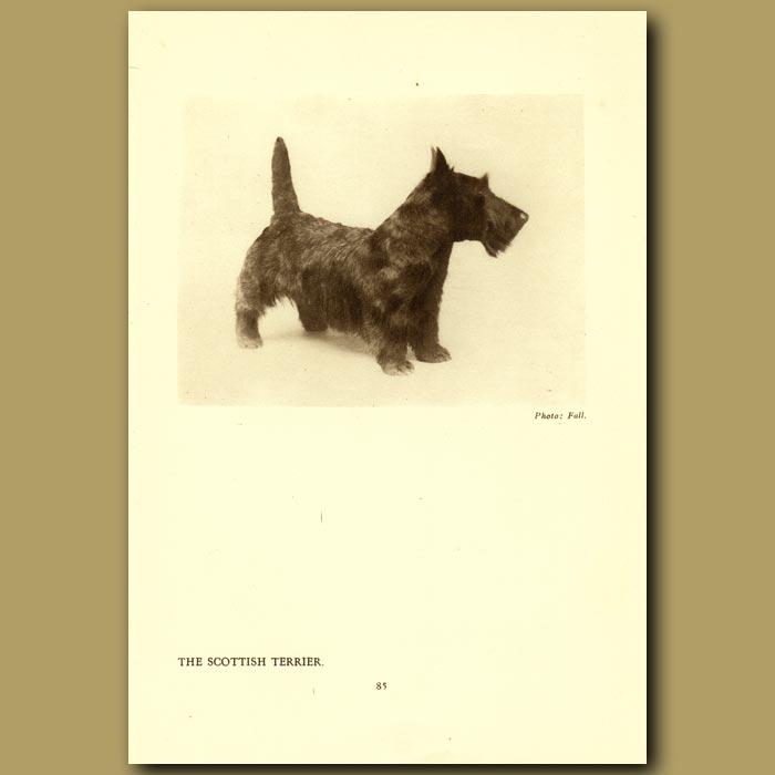Antique print. The Scottish Terrier