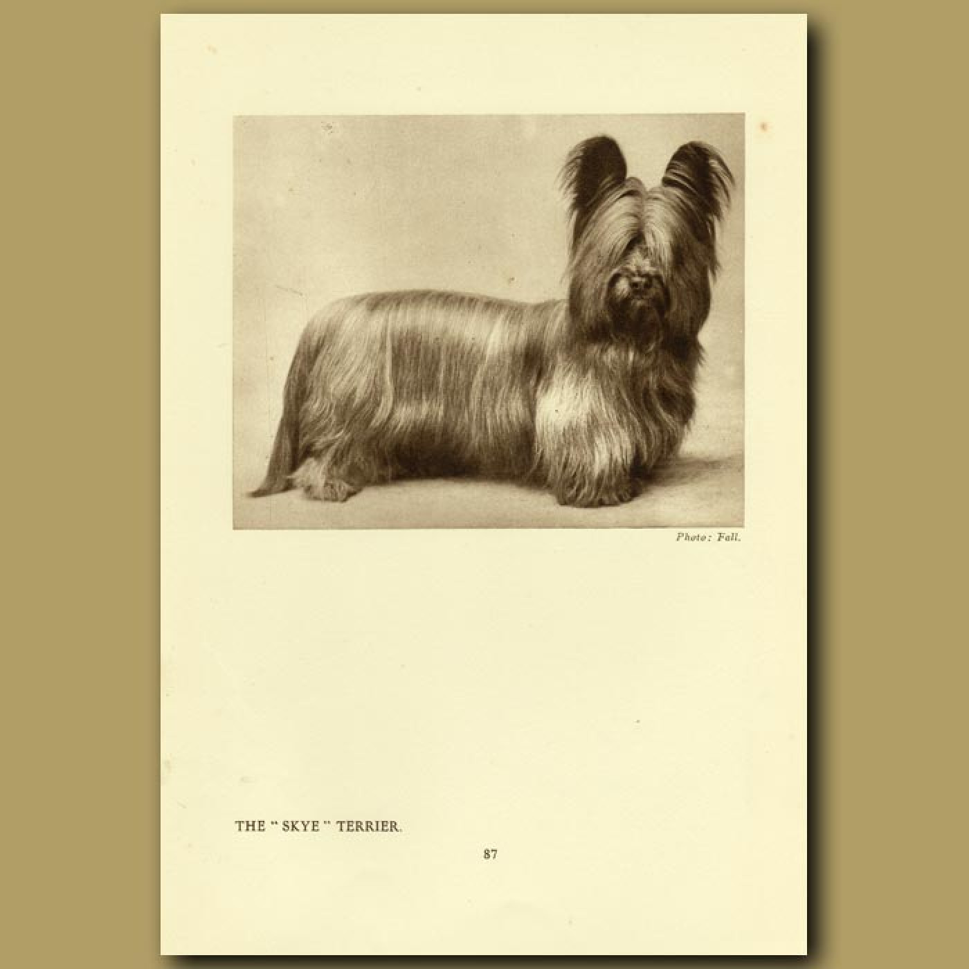 The Skye Terrier. Genuine antique print for sale.