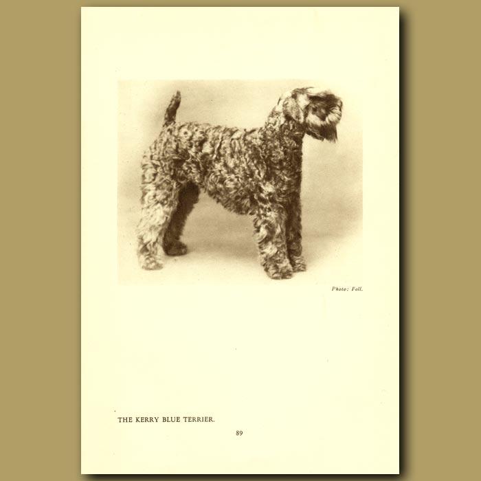 Antique print. The Kerry Blue Terrier