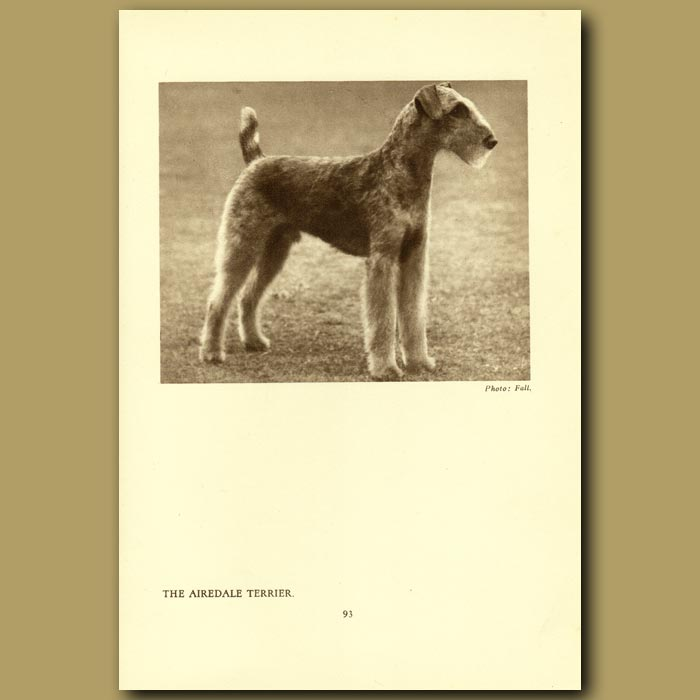 Antique print. The Airedale Terrier