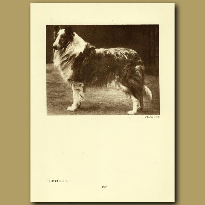 Antique print. The Collie
