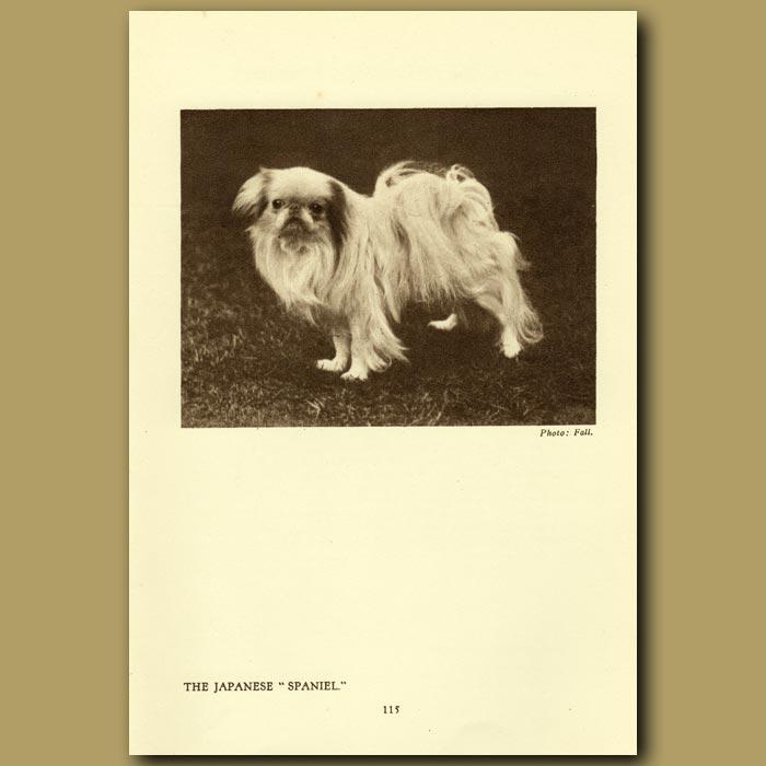 Antique print. The Japanese Spaniel