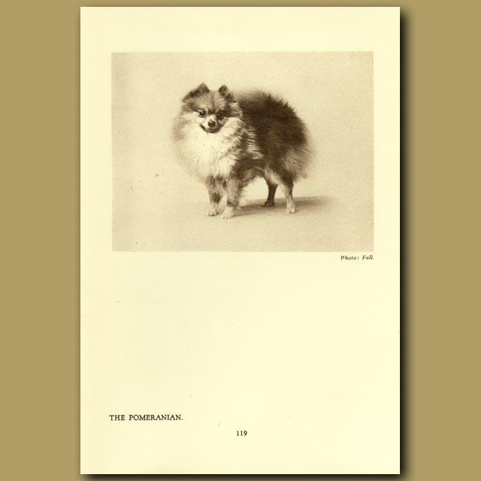 Antique print. The Pomeranian