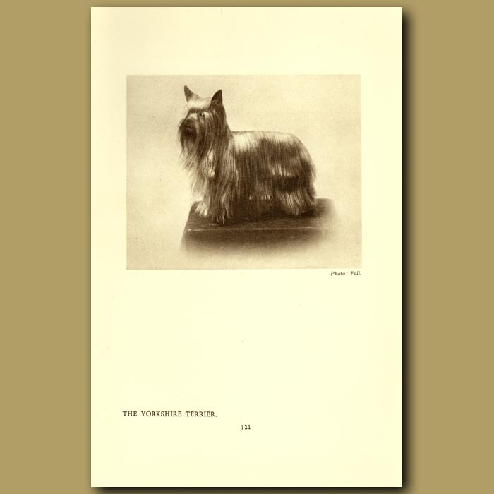 Antique print. The Yorkshire Terrier