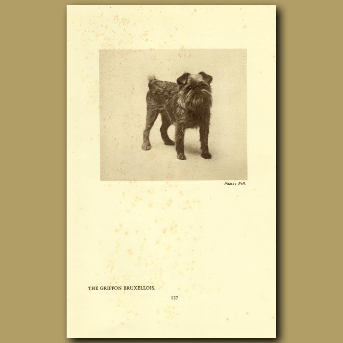 Antique print. The Griffon Bruxellois